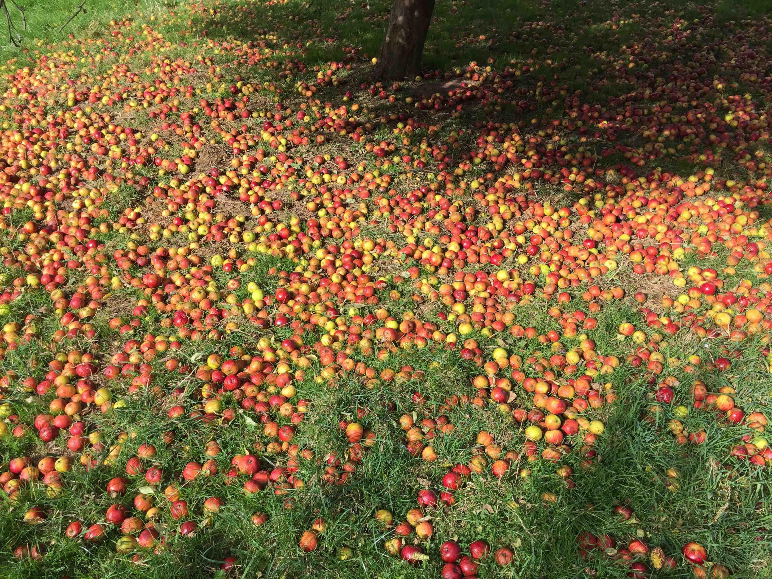 Oliver's Cider cider apples