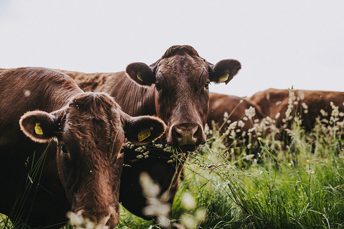 Pipers-Farm-Cows